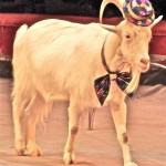 Коза символ 2015г.