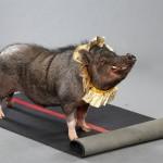 Дрессированная Мини пиги